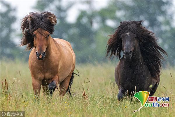 德国摄影师拍摄冰岛马 自信展示飘逸鬃毛帅气潇洒