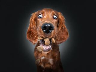 摄影师拍狗狗接食表情包 龇牙咧嘴令人捧腹图片