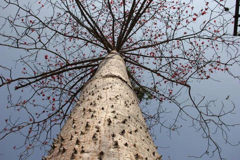没有被木棉砸过的春天,是不完整的