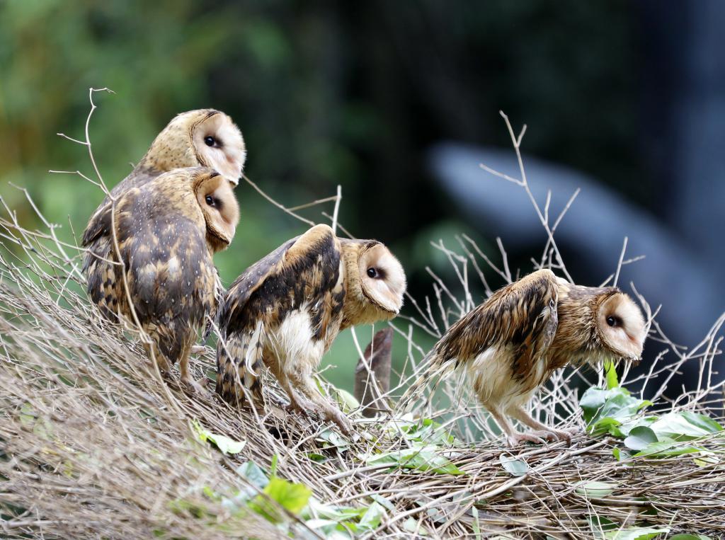 月    日在广州长隆野生动物世界拍摄的猴面鹰.