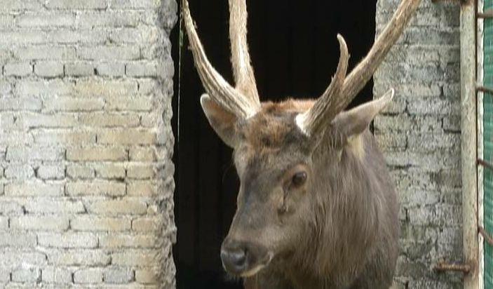 资料: 水鹿体型粗壮接近马鹿。成年雄鹿体高 130 厘米左右,体长 130~140 厘米,体重 200~250 千克。雌鹿较矮小。水鹿泪窝较大,鼻镜黑色,颈毛较长,尾端部密生蓬松的黑色长毛。被毛黑褐色,冬毛深灰色。有黑棕色背线,臀周围呈锈棕色,无臀斑。茸角为单门桩,眉枝。喜水,常活动于水边,栖息于阔叶林、混交林、稀树的草场和高草地带,清晨、黄昏觅食。雨后特别活跃。平时单独活动,有一定的行动路线。分布于中国、斯里兰卡、印度、尼泊尔、中南半岛以及东南亚等地区。 该物种已列入《世界自然保护联盟》(IUCN)2