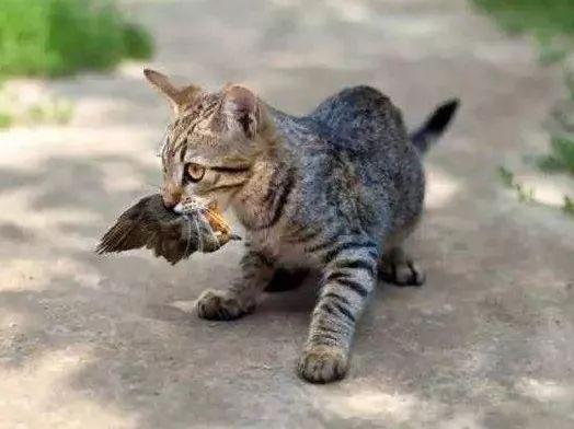 中国8 种野生小型猫科ag游戏直营网|平台简介