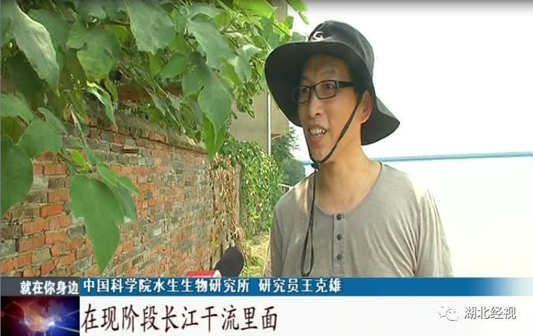 武汉城区长江段十几头江豚嬉戏跳跃 实属罕见