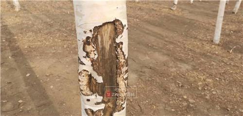 长春南湖公园白桦林 多棵树竟被刻字来表达爱
