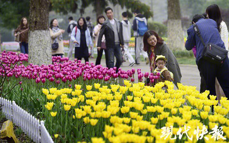 【现代快报】30 万株郁金香!南京中山植物园迎来颜值巅峰