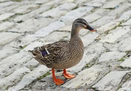 """偷""""鸭""""不成蚀把米,一只鸭子将邵东男子送进拘留所"""