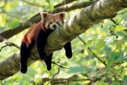 小熊猫获救第二天就死了,解剖发现胃是空的心肌出血!野生动物贩卖触目惊心