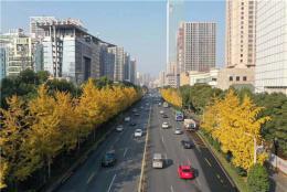 組圖|美輪美奐,芙蓉路的銀杏迎風怒放