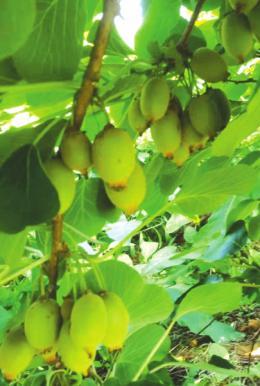 """怀化猕猴桃走进了粤港澳大湾区居民的""""菜篮子"""" 扫一扫就能知道它的前世今生"""