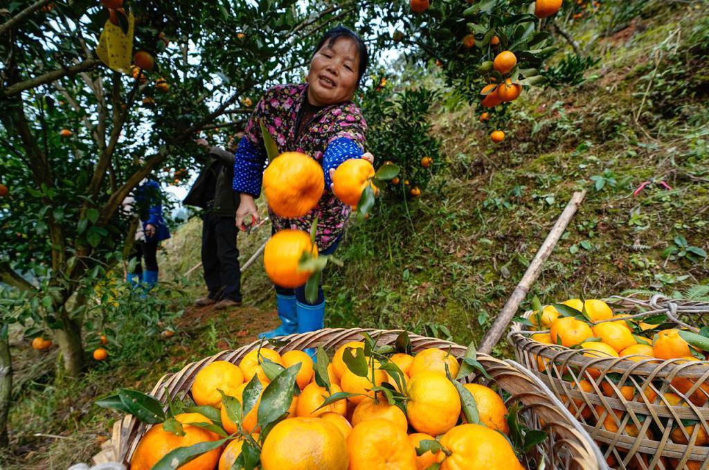 榕江脐橙—中国第一橙